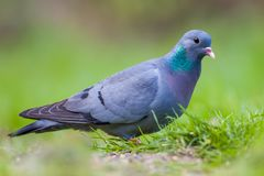 European Stock dove. (Columba oenas) foraging in the grass of a bright green lawn stock image