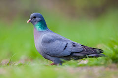 European Stock dove looking in the camera. European Stock Dove (Columba oenas) foraging in a lawn with bright green grass while looking in the camera royalty free stock photos