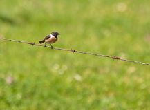 The European Stonechat Stock Image