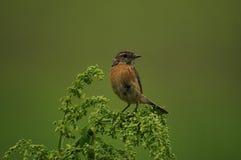 European stonechat bird (Saxicola rubicola) Royalty Free Stock Images