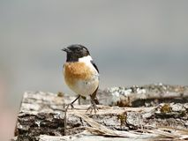European stonechat stock photography