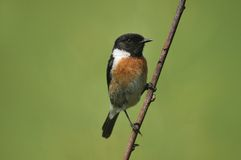 The European Stonechat Royalty Free Stock Photos