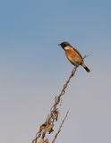 European Stonechat Stock Photos