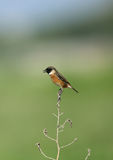 European stonechat perched in wood Stock Image