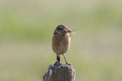 European Stonechat, Saxicola rubicola Stock Photo
