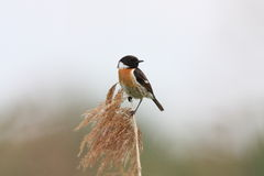 European Stonechat, Saxicola rubicola Royalty Free Stock Photo