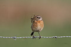 European Stonechat, Saxicola rubicola Stock Photos