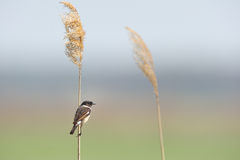 European Stonechat (Saxicola rubicola). The European Stonechat (Saxicola rubicola) is a small passerine bird that was formerly classed as a subspecies of the Stock Image