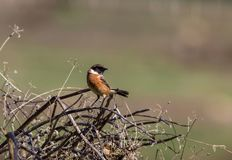 The European Stonechat stock photography