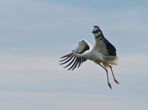 European stork Ciconia in flight, isolated on sky Stock Photo