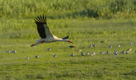 European stork, Ciconia, in natural environment Stock Photo