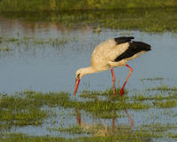 European stork, Ciconia, in natural environment Royalty Free Stock Image