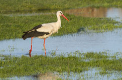 European stork, Ciconia, in natural environment Stock Photography