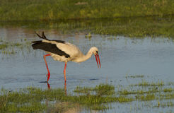 European stork, Ciconia, in natural environment Stock Photos