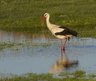 European stork, Ciconia, in natural environment Stock Images
