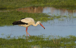 European stork, Ciconia, in natural environment Royalty Free Stock Photo