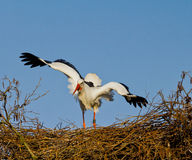 European stork on her nest in distress. A European stork in distress on her nest because she is approached by a rival male. Image has a clear blue background Royalty Free Stock Photo