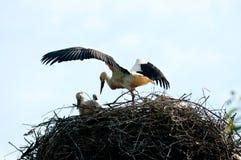 European stork Stock Image