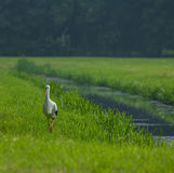 European stork walking along a canal, The Hague, the Netherlands Stock Images