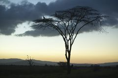 European storks at dusk on Acacia Tree in Lewa Conservancy, Kenya, Africa Stock Images