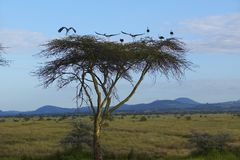 European storks at dusk on Acacia Tree in Lewa Conservancy, Kenya, Africa Stock Photo