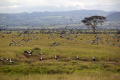 European storks flying near Acacia Tree in Lewa Conservancy, Kenya, Africa Royalty Free Stock Photos