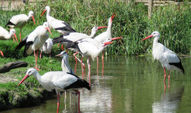 European storks in pond Royalty Free Stock Photography