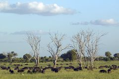 European storks in tree and cape buffalo at sunset in Tsavo National park, Kenya, Africa Stock Photo