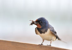 European swallow Royalty Free Stock Photo