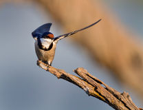 European Swallow Royalty Free Stock Photos