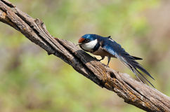 European swallow Royalty Free Stock Images