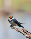 European Swallow Stock Photos