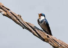 European swallow signing against nice blue backgro Stock Photography