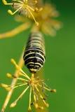 European Swallowtail caterpillar Royalty Free Stock Images