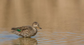 European Teal Stock Image