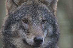 Free European Timber Wolf Close Up Portrait In Pine Woods With Background Stock Photos - 103335613