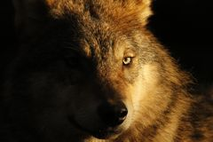 European, timber wolf portraits Royalty Free Stock Images