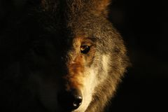 European, timber wolf portraits Royalty Free Stock Image