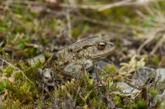 European Toad (Bufo bufo) Stock Photography