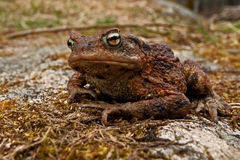 European toad, Bufo bufo Stock Photography