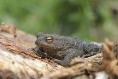 European toad Bufo bufo Royalty Free Stock Photos