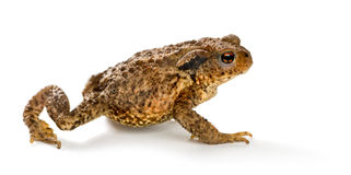 European toad, bufo bufo, in front of a white background. Isolated on white stock image