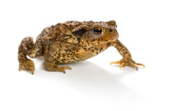 European toad, bufo bufo, in front of a white background Stock Images
