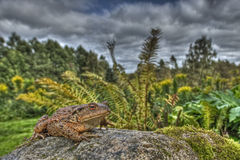 European toad, Bufo bufo in HDR Stock Photography