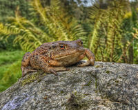European toad, Bufo bufo in HDR Royalty Free Stock Image
