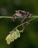 European toad, Bufo bufo 15 mm baby Royalty Free Stock Photos