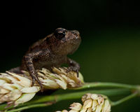 European toad, Bufo bufo 15 mm baby Royalty Free Stock Photo