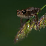 European toad, Bufo bufo 15 mm baby Stock Image