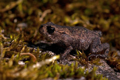 European toad, Bufo bufo 15 mm baby stock photography