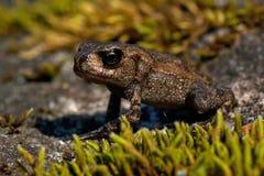 European toad, Bufo bufo 15 mm baby Royalty Free Stock Photo